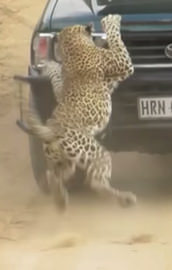 Vahşi leoparı böyle ezdiler