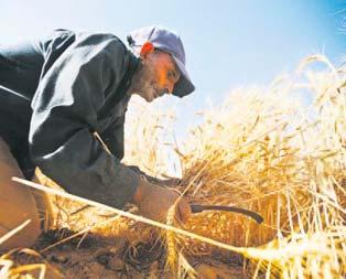 Buğdayda rekolte rekoru kırılacak