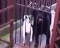 Sahibini taklit eden köpek