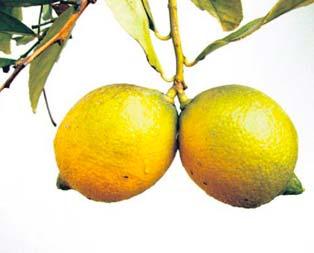 Gebelere limon suyu şifası!