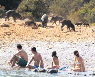 Deniz nerede domuz orada