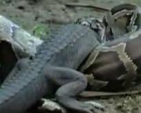 Vahşi doğanın iki katili ölümüne kapıştı!