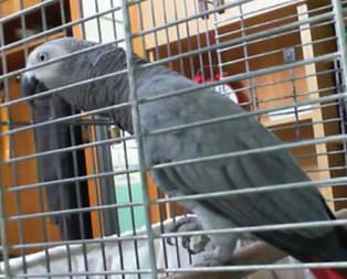 Tesbihat çeken papağan