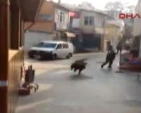 İstanbulda domuz dehşeti