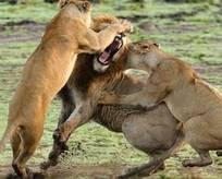 Aslan kralın karizması yerle bir oldu