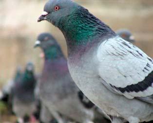 Güvercin ile kanser teşhisi