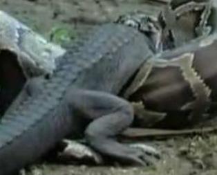 Vahşi doğanın iki katili ölümüne kapıştı