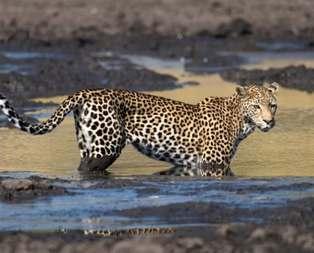 Leoparın avlanma taktiğine hayran kalacaksınız