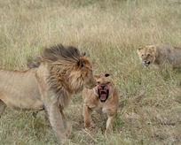 Dişi aslan erkeğini bakın ne hale getirdi!