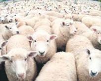 ESRARengiz koyunlar