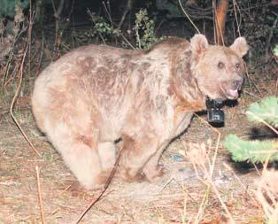 Göç eden tek ayı Türkiye'de