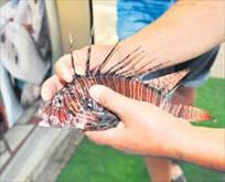 Antalya'da zehirli aslan balığı yakalandı