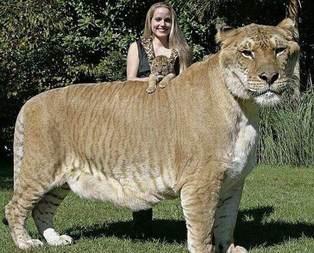 O ne bir aslan ne bir kaplan!