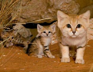 Bu vahşi kedileri daha önce görmüş müydünüz?