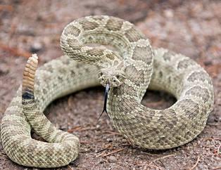 Çıngıraklı yılanın kuyruğunu açınca...