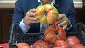 Dev domatesler şaşırtmasın