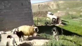 Yavrusunu köpekten koruyan anne koyun
