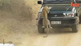 Leoparı ezerek öldürdüler