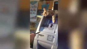ATM'den para çekmeye izin vermeyen kedi
