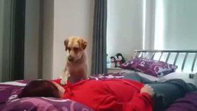 Sahibini yalayarak kurtaran köpek