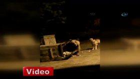 Uudağ'da köpekler ayıyı böyle kovaladı