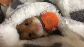 Havuç yiyen sevimli hamster