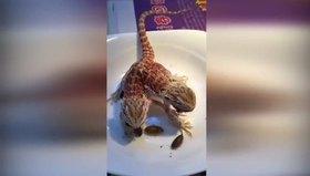 Çift başlı ejder böyle besleniyor!