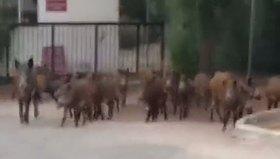 Şehre inen domuzlar yoldan geçen polise saldırdı